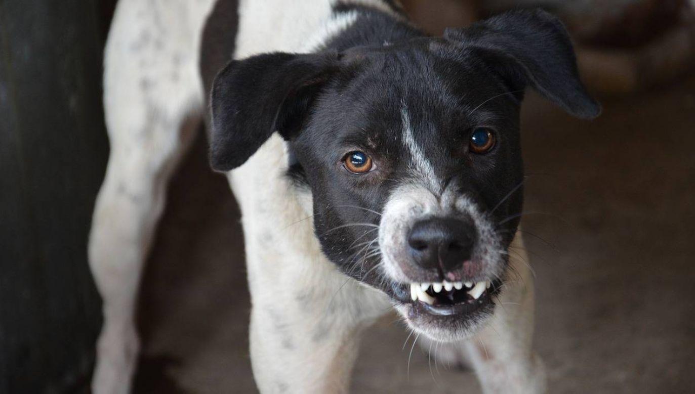 Agresywny pies zanim zaatakuje wysyła znaki ostrzegawcze (fot. Pixabay)