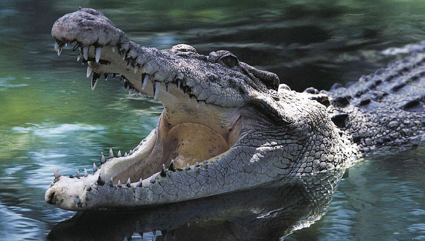 Do ataku krokodyla doszło na wyspie Buru (fot. DEA /G.SIOEN/De Agostini via Getty Images)