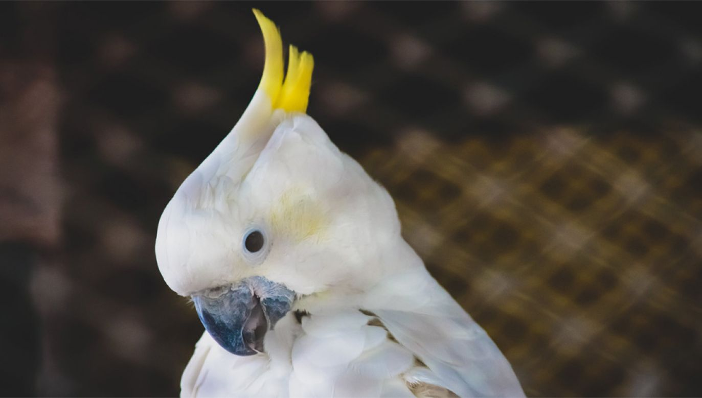 Większość papug to poszukiwane przez kolekcjonerów kakadu (fot. Pexels)