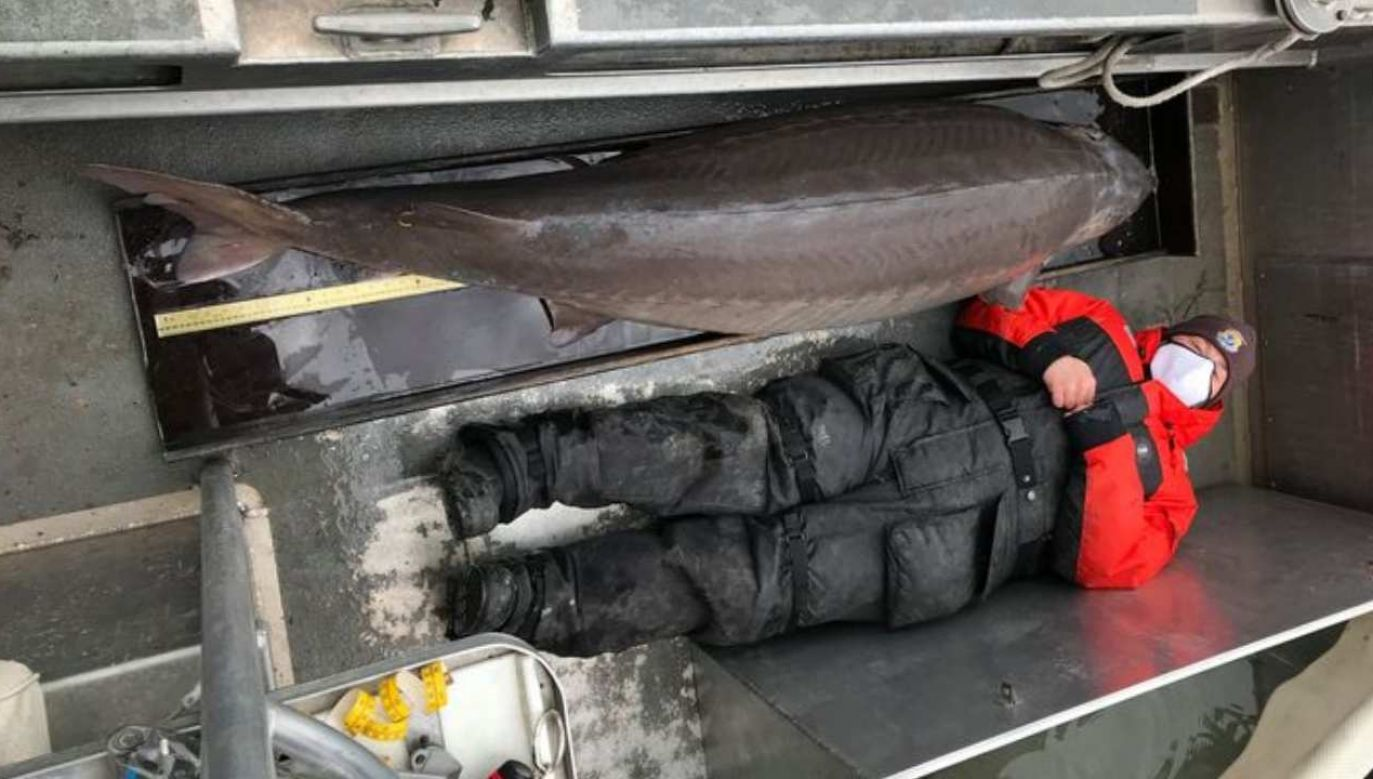 Jesiotr ważył ponad 108 kg (fot. Facebook/@AlpenaFWCO)