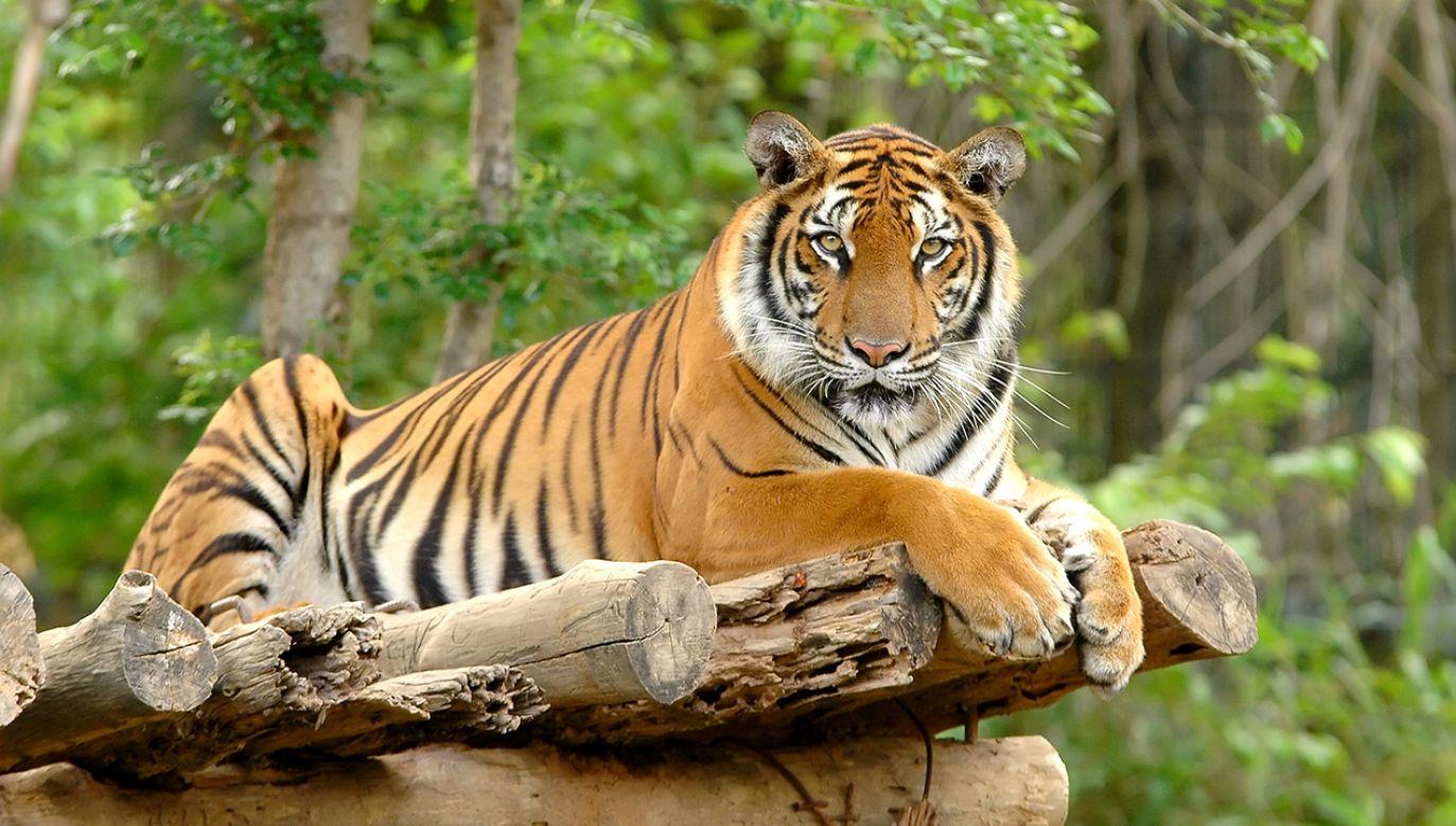 Czas zabawy małego tygryska (fot. Shutterstock)