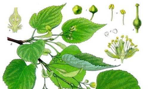Lipa ( łac. Tilia). Fot. Autorstwa Franz Eugen Köhler, Köhler's Medizinal-Pflanzen/Wikimedia