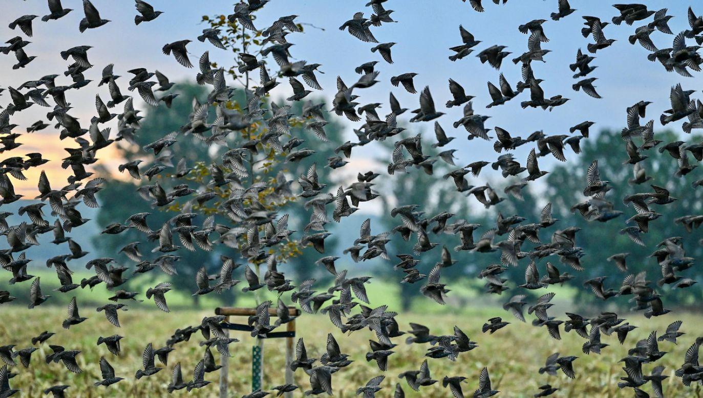Miliardy ptaków zderzają się ze stworzonymi przez człowieka konstrukcjami (fot. arch.PAP/DPA)