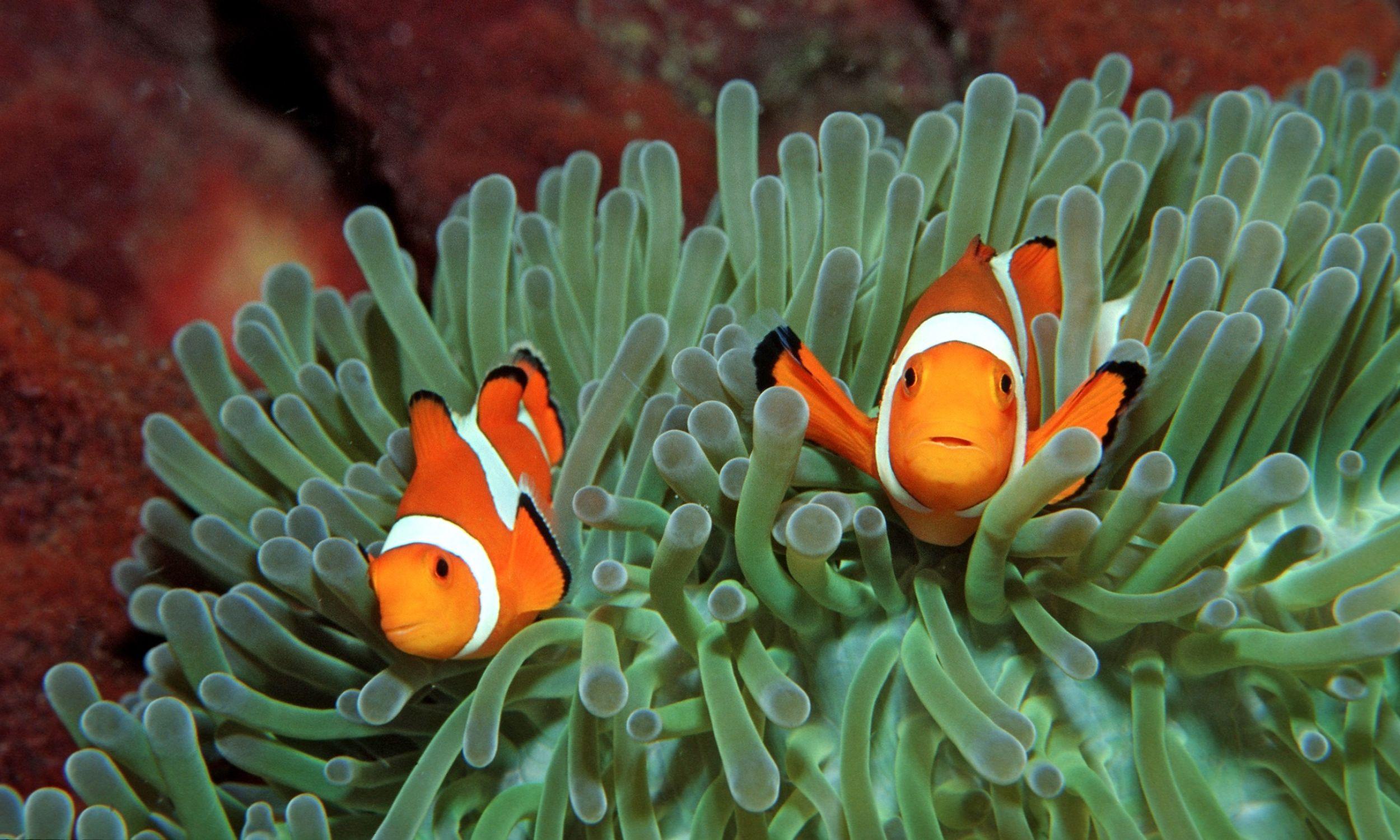 """Lubiany od czasu animowanej opowieści """"Gdzie jest Nemo"""" błazenek (Amphiprion) zmienia płeć pod wpływem dojścia do władzy. Otóż ławicą takich rybek zawiaduje dominująca samica. Gdy ona padnie, jej rolę – wraz z rolą reprodukcyjną – przejmuje najbardziej dominujący spośród samców. Staje się on samicą. Fot. Reinhard Dirscherl/ullstein bild via Getty Images"""