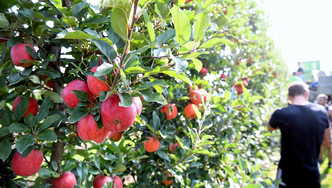 Polska jest największym producentem jabłek w Europie (fot. PAP/Darek Delmanowicz)