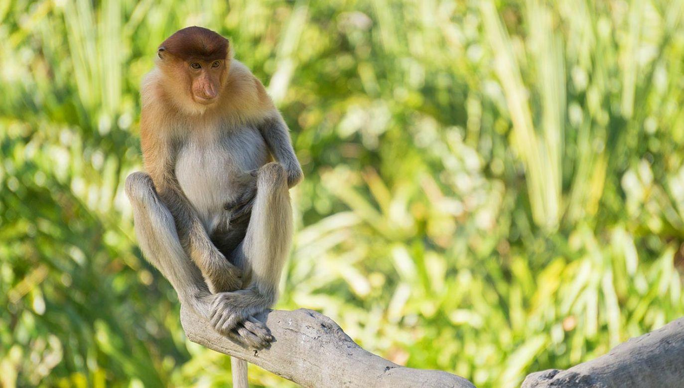 Małpa porwała psa (fot. Shutterstock)