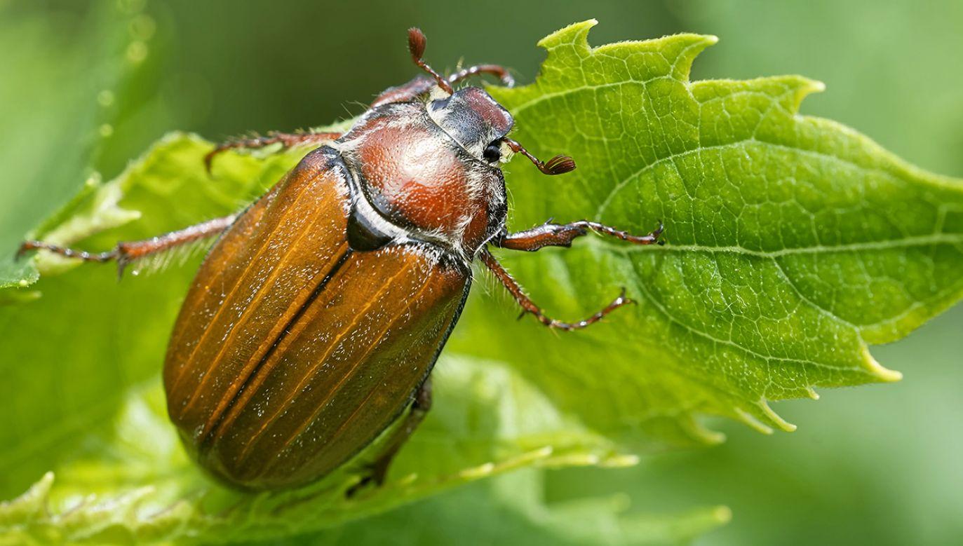Odkrycie dotyczy m.in.  chrząszczy  (fot. SHutterstock/Bildagentur Zoonar GmbH)