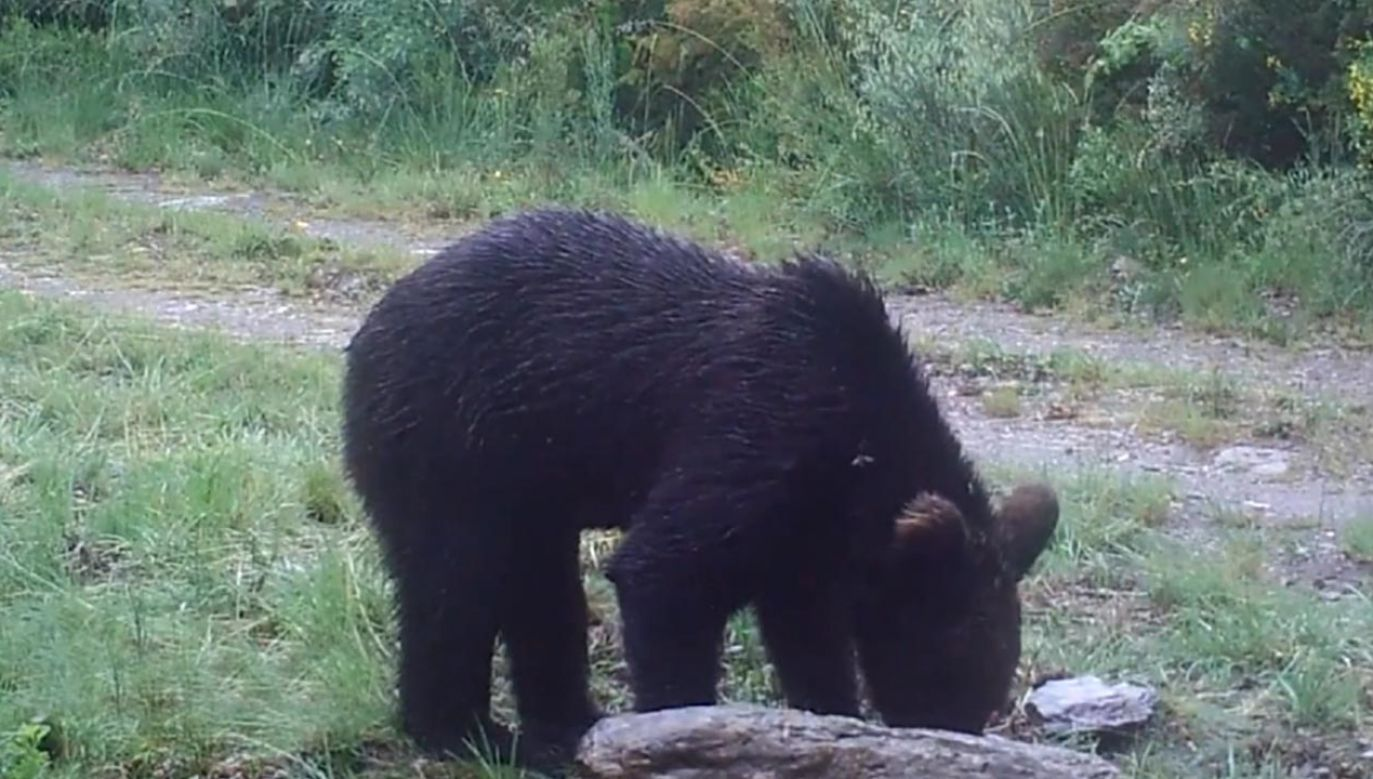 Niedźwiedzia brunatnego w parku narodowym nagrała ekipa filmowa (fot. Zeitun Films/Montaña ou Morte)