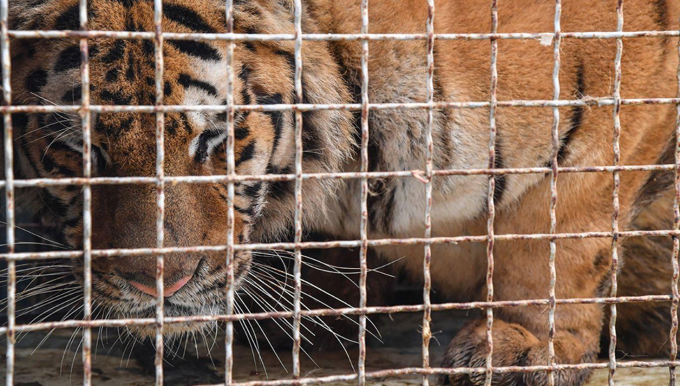 Tygrysy jechały z Włoch do Dagestanu (fot. PAP/Wojtek Jargiło)