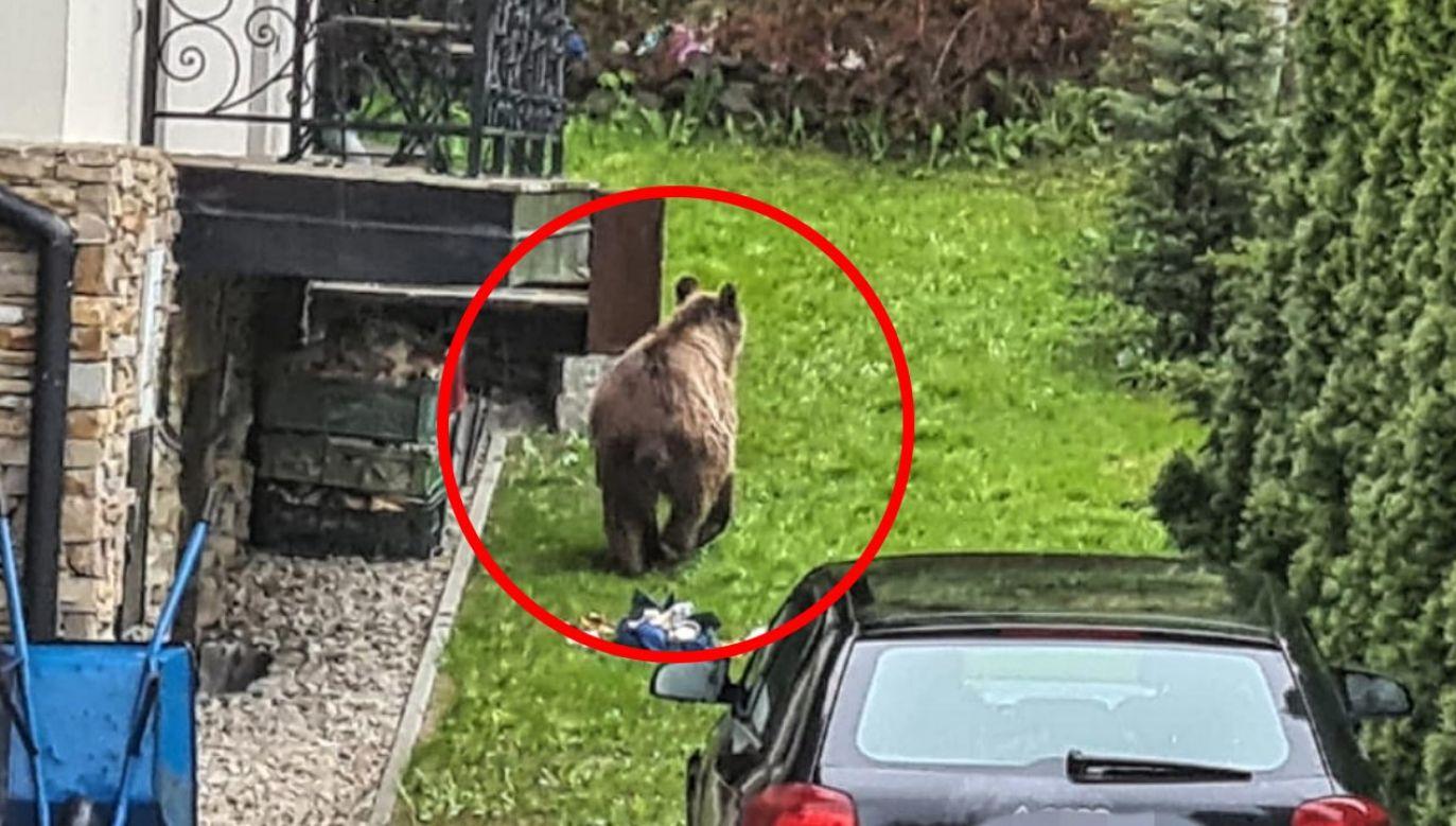 Niedźwiedź na osiedlu Tatary (fot. Policja)