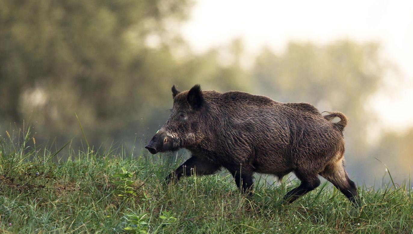 Zastrzelono ostatniego duńskiego dzika żyjącego na wolności (fot. Shutterstock/Budimir Jevtic)