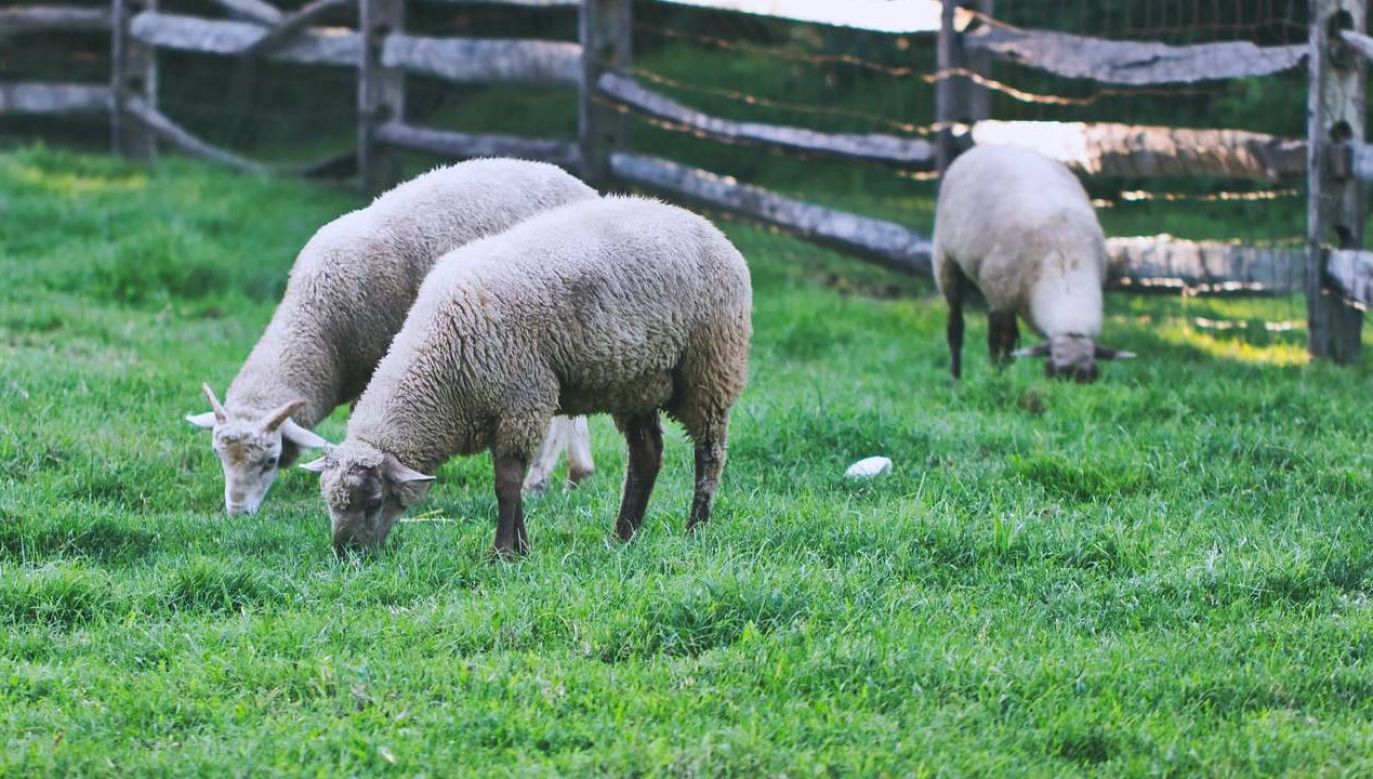 Owce wpływają korzystnie na środowisko (fot. Pexels)