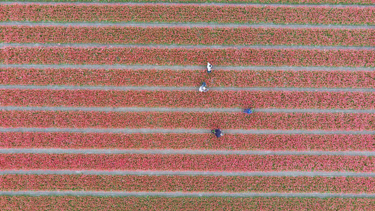 Mniej chętnych osób do pracy rolno-ogrodniczej w Holandii (fot. Nicolas Economou/NurPhoto via Getty Images)