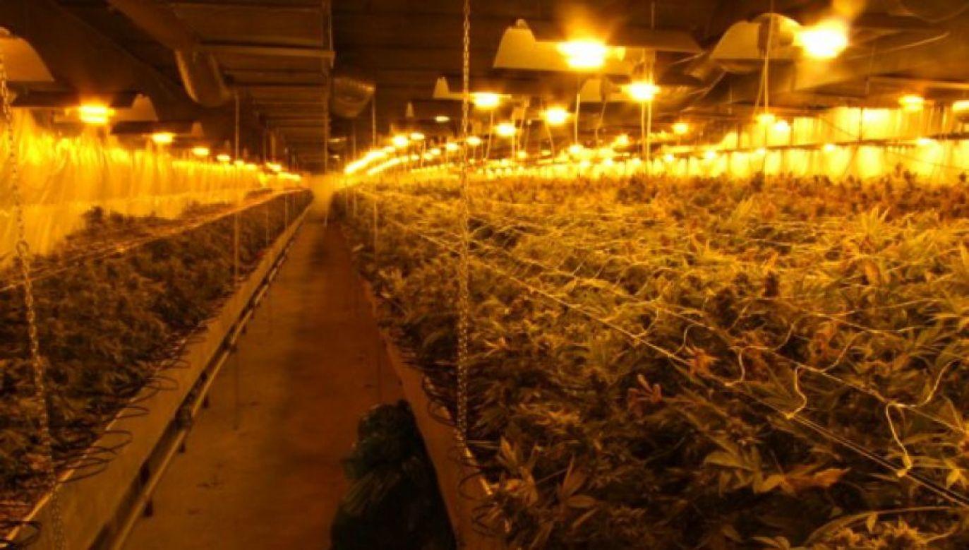 W Pawłosiowie funkcjonowała jedna z największych plantacji marihuany w Polsce (fot. CBŚP)