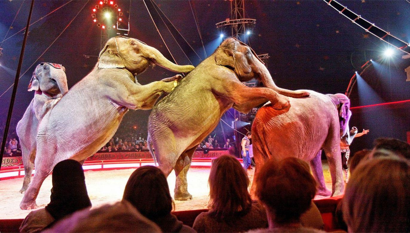 Już 33 miasta w Polsce zakazały wjazdu cyrkom ze zwierzętami (fot. Wiki 3.0/Thesupermat)