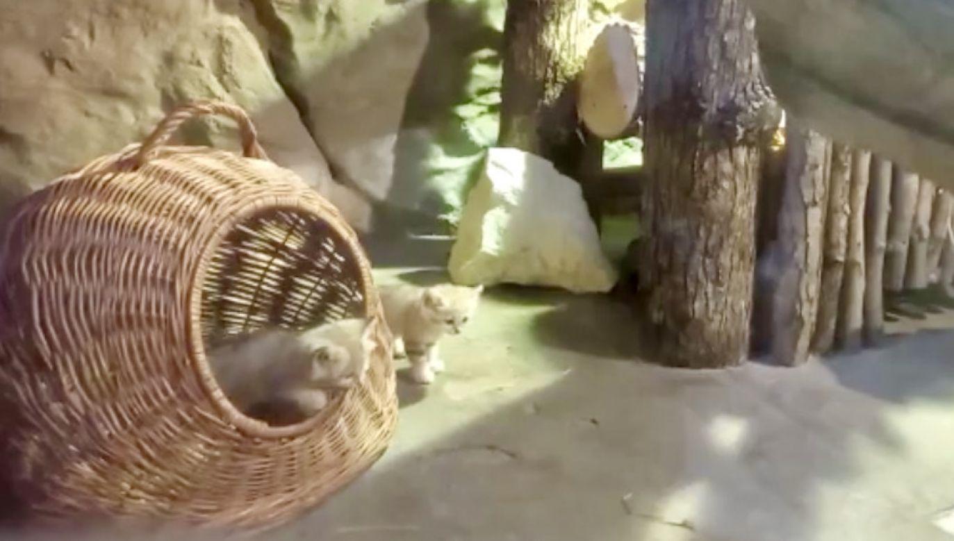 Każdy z kociaków waży około pół kilograma (fot. fb/Gdański Ogród Zoologiczny)