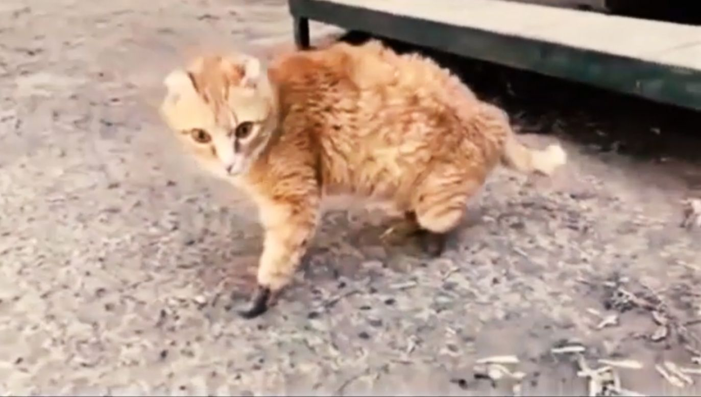 Właściciele kota twierdzą, że zwierzę jest świadome swojej sytuacji i nie próbuje pozbyć się protez (fot. YT/animallovers101)